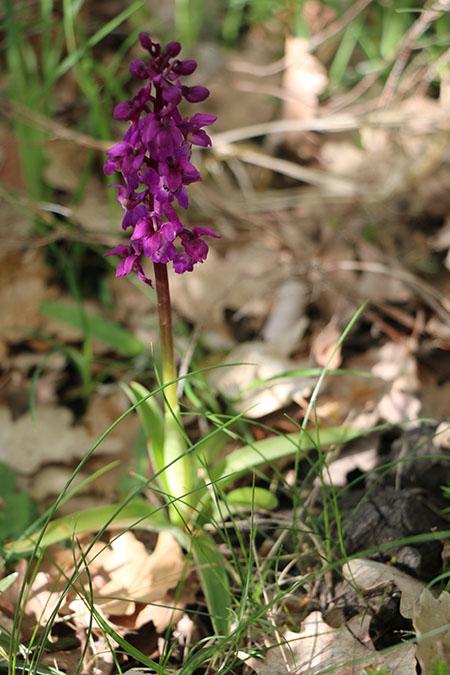 Orchis mascula  - Rey Gérard