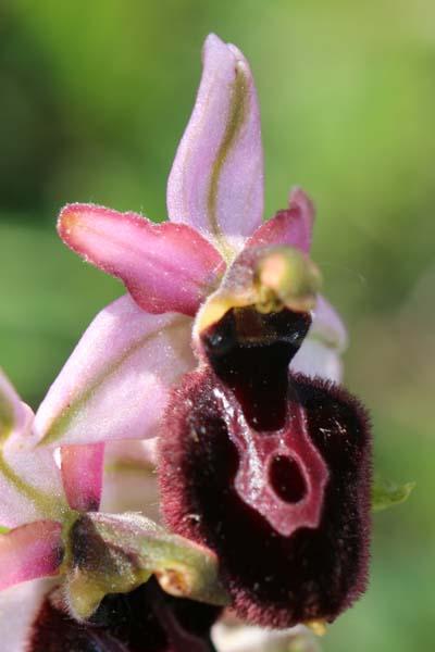 Ophrys catalaunica  - Gérard Joseph