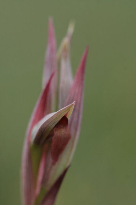 Serapias parviflora  - Serge Varennes