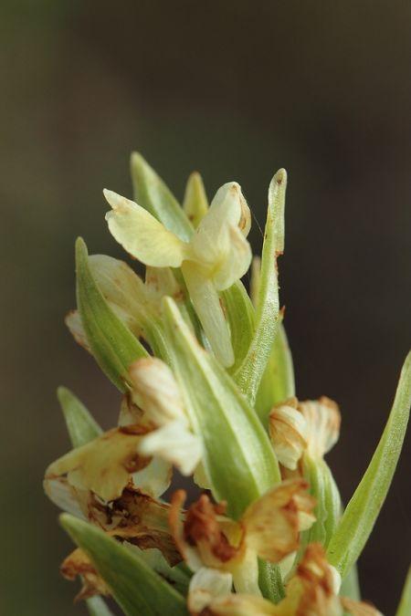 Dactylorhiza insularis  - William Brondel