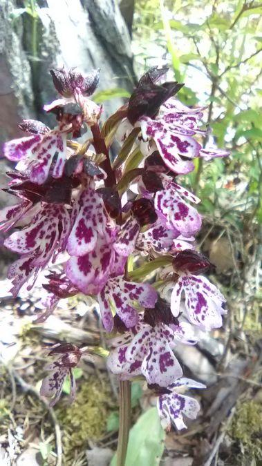 Orchis purpurea  - José Miguel Martins Da Silva