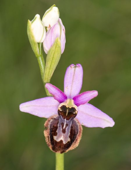 Ophrys aveyronensis  - Michel Nicole