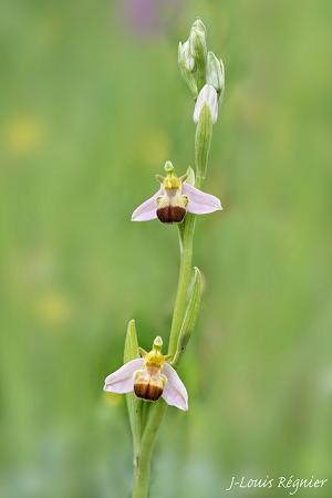 Ophrys apifera var. bicolor  - Jean-Louis Régnier