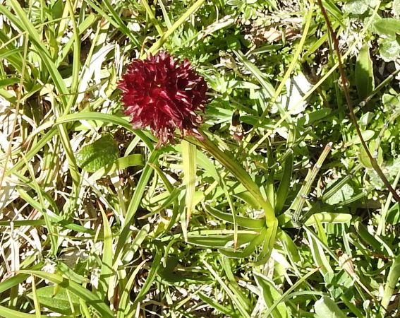 Nigritella cenisia  - Antoinette Fleixas