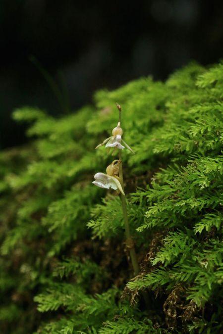 Epipogium aphyllum  - Francis Dabonneville