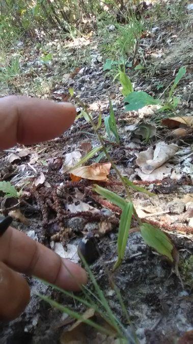 Epipactis helleborine var. minor  - José Miguel Martins Da Silva