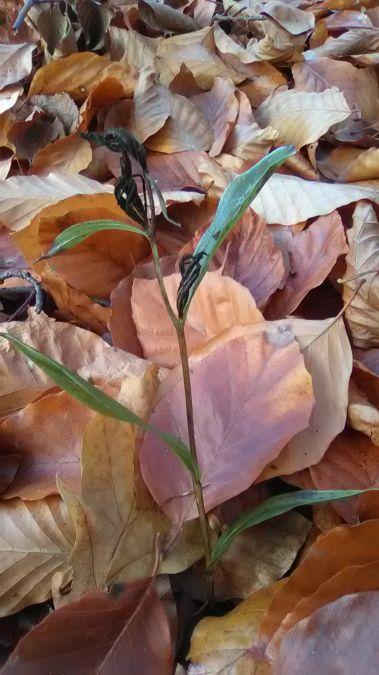 Cephalanthera damasonium  - José Miguel Martins Da Silva