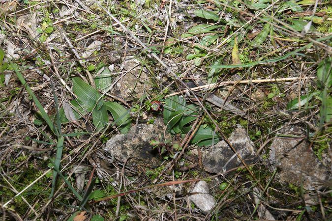Ophrys exaltata subsp. marzuola  - Christian Fleury