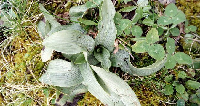 Ophrys apifera  - José Miguel Martins Da Silva