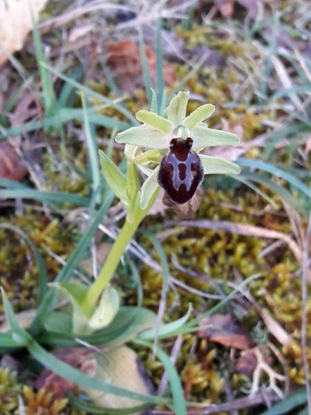 Ophrys occidentalis  - Emmanuelle Rey