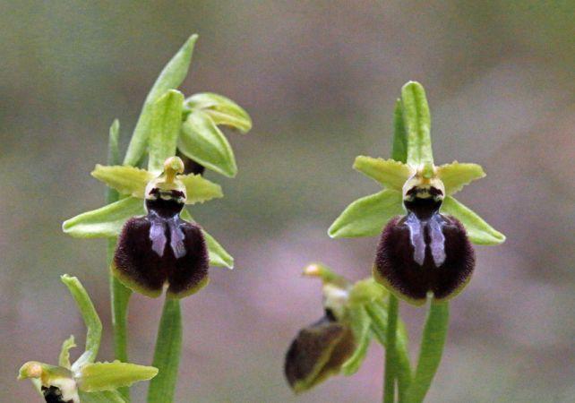 Ophrys exaltata ssp. marzuola  - Francis Dabonneville