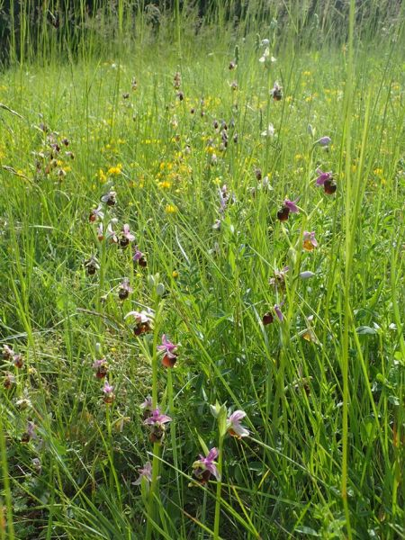 Ophrys druentica  - François Rolland