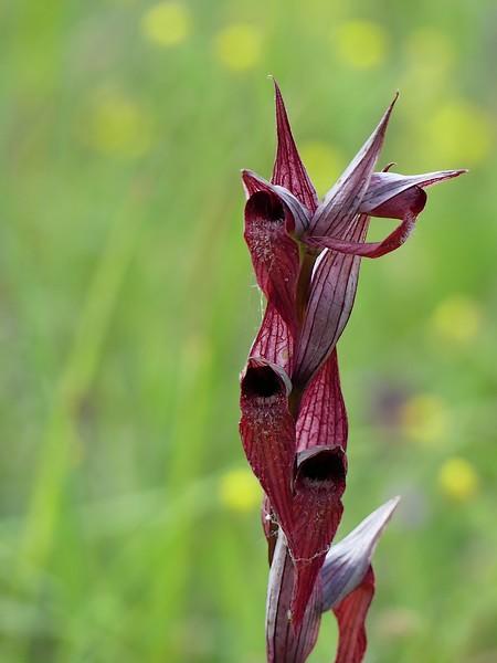 Serapias vomeracea  - Maylis Ducos