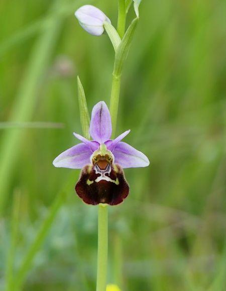 Ophrys aegirtica  - Maylis Ducos