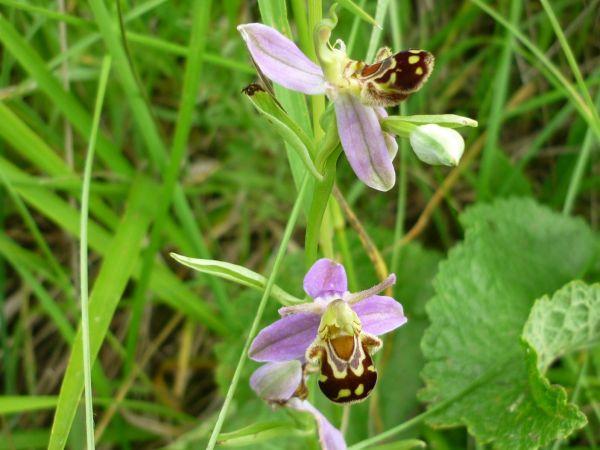 Ophrys apifera var. aurita  - Jean-Paul Guignabert