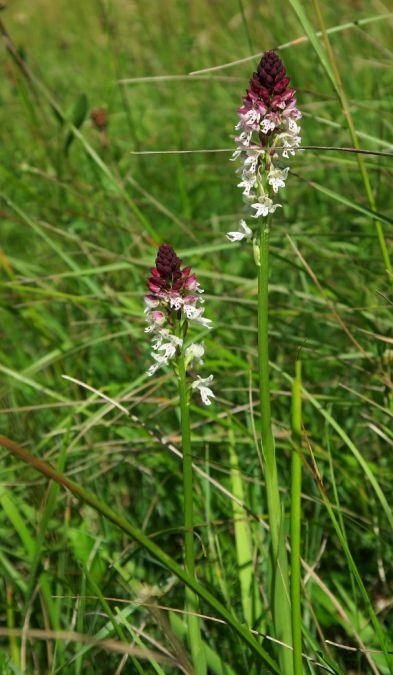Neotinea ustulata subsp. aestivalis  - Claudine Lab