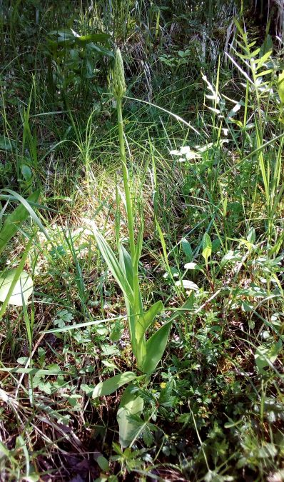 Gymnadenia conopsea var. densiflora  - José Miguel Martins Da Silva