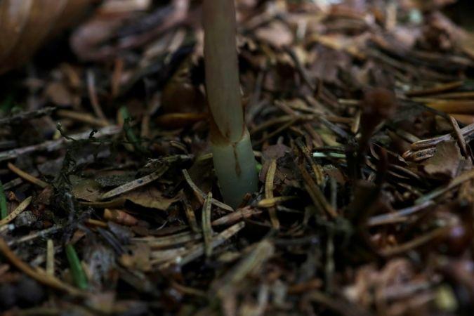 Epipogium aphyllum  - Ghislain Constans
