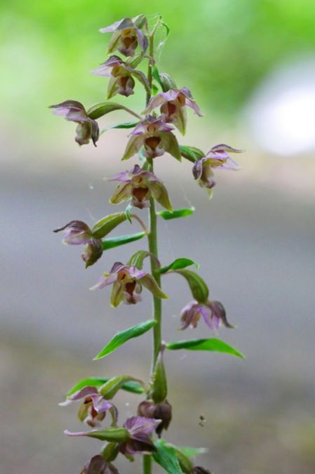 Epipactis helleborine var. minor  - Nicole Chassang