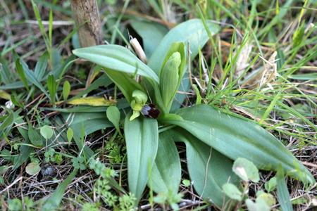Ophrys lupercalis  - Albert Galzin