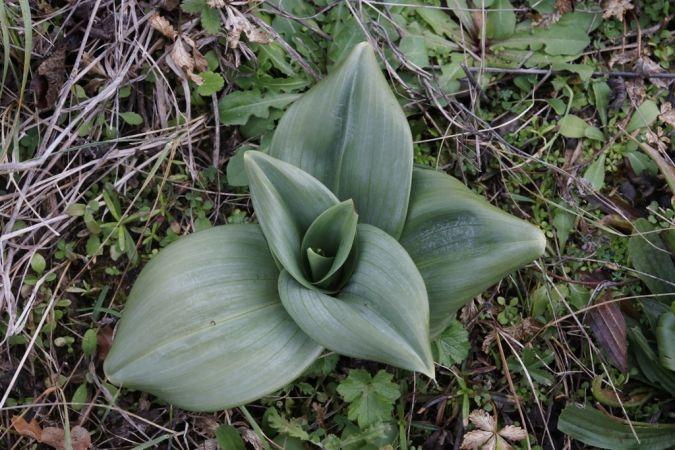 Himantoglossum hircinum  - Ghislain Constans