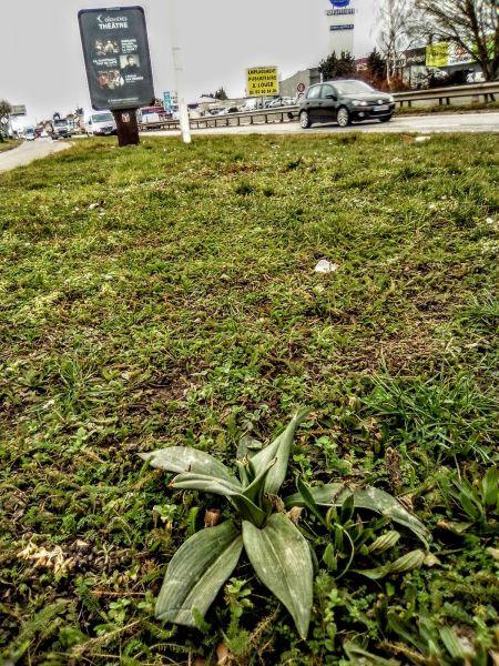Himantoglossum hircinum  - José Miguel Martins Da Silva