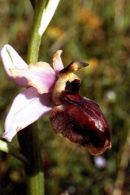 Ophrys aveyronensis  - Bruno Daviet