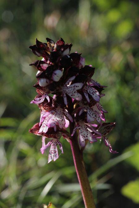 Orchis purpurea  - Jean Claude Bouveron