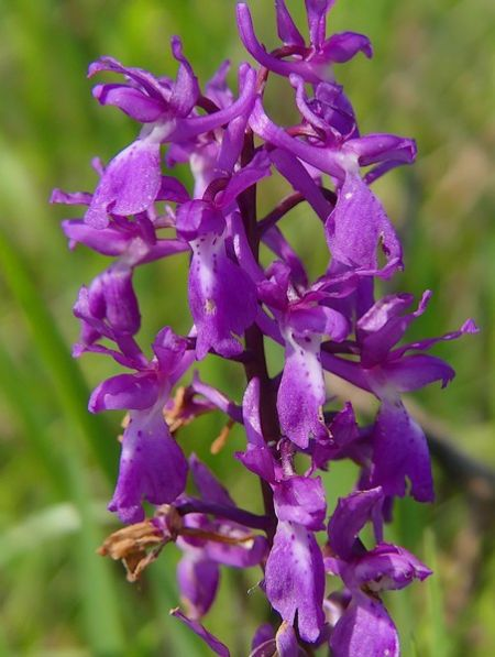 Orchis langei  - Maylis Ducos