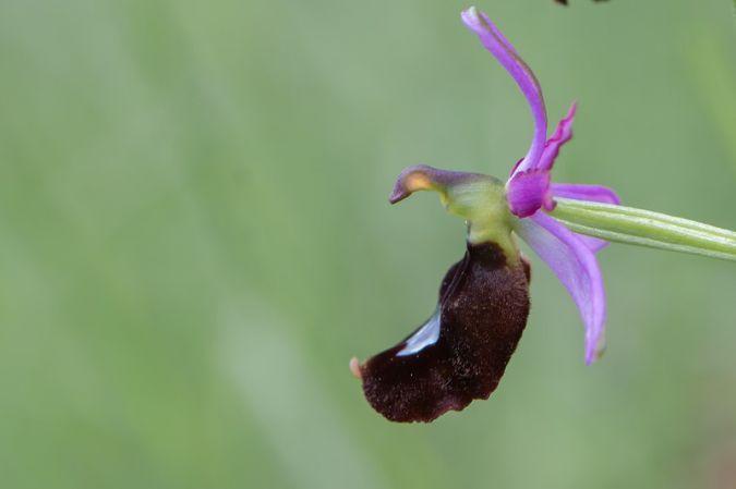 Ophrys aurelia  - Yves Gonnet