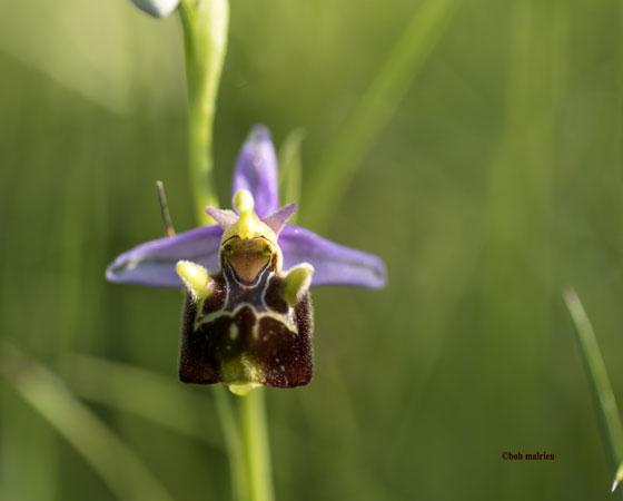 Ophrys aegirtica  - Robert Malrieu