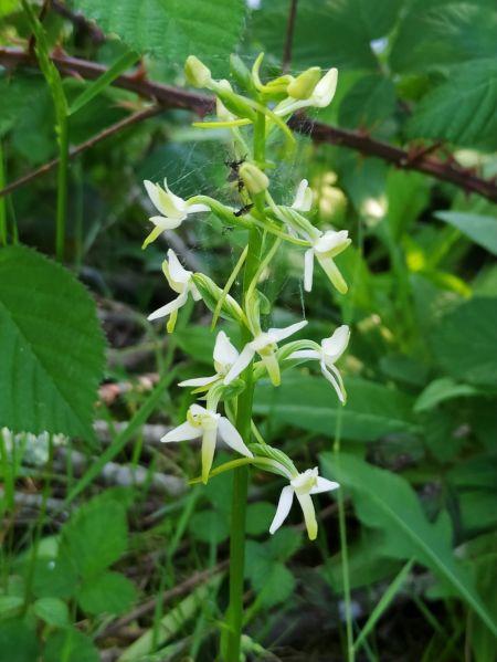 Platanthera bifolia  - Eliane Maniere