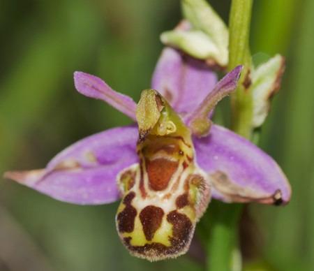 Ophrys apifera var. aurita  - Jacques Gilardin