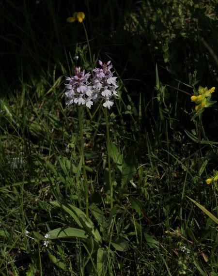 Dactylorhiza fuchsii  - Daniel Baudain
