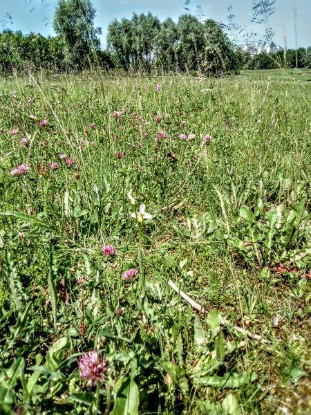 Ophrys sp.  - José Miguel Martins Da Silva
