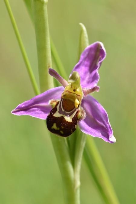 Ophrys apifera var. aurita  - Patrice Grange