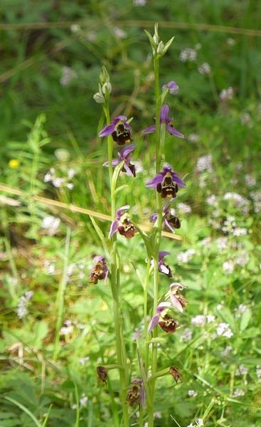 Ophrys gresivaudanica  - Huguet Didier