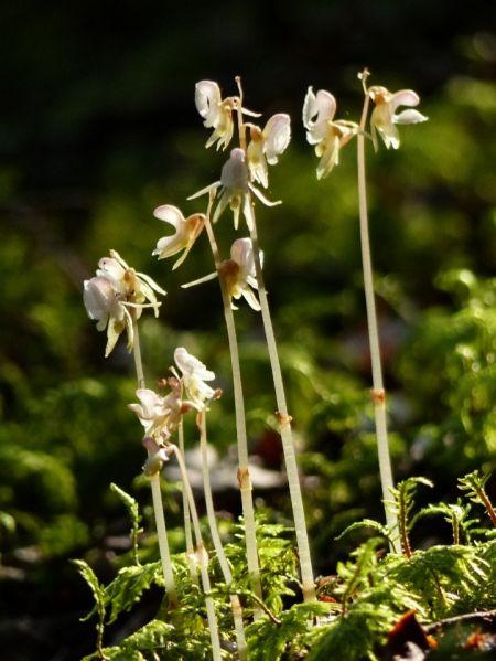 Epipogium aphyllum  - Mathis Buriasco