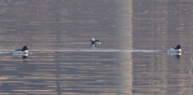 Long-tailed Duck  - Hemma Faiman