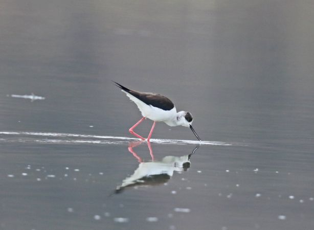 Black-winged Stilt  - Klaus Mühlböck
