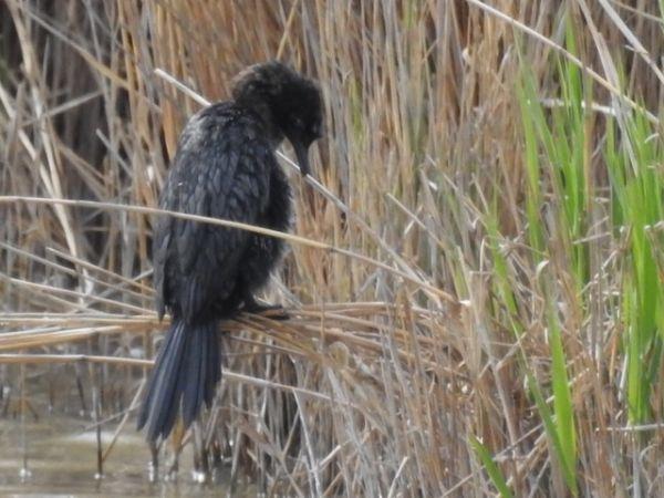 Pygmy Cormorant  - Rainer Jellinek