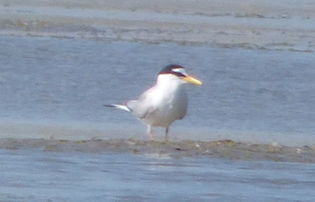 Little Tern  - Barbara Waringer