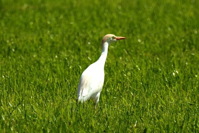 Cattle Egret  - Erich Dumfarth