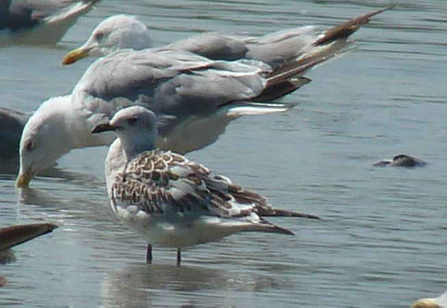 Mediterranean Gull  - Walter Pilshofer