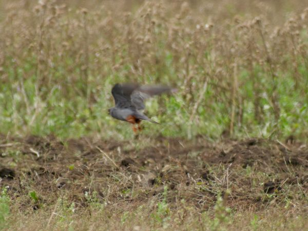 Red-footed Falcon  - Helmut Tratter