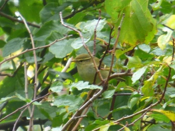 Yellow-browed Warbler  - Werner Zimmermann