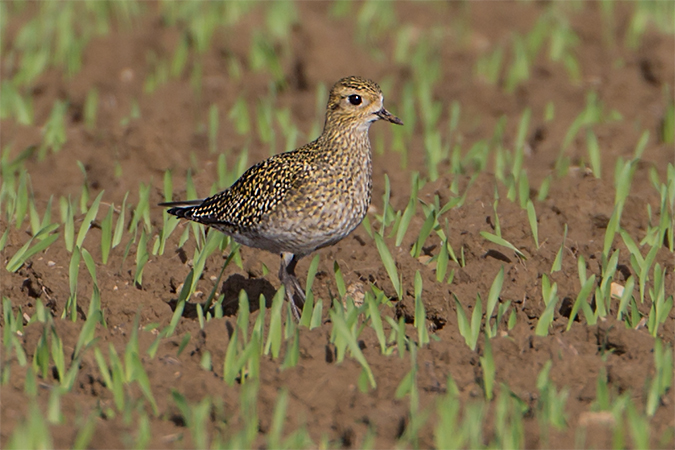 European Golden Plover  - Thomas & Christa Pumberger