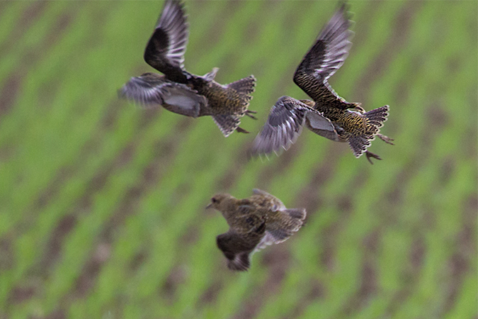 European Golden Plover  - Thomas & Christa Pumberger