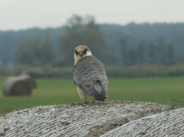 Red-footed Falcon  - István Horváth