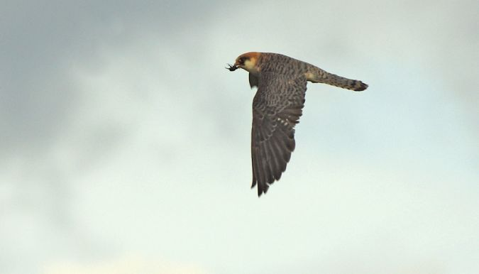 Red-footed Falcon  - Roman Matz